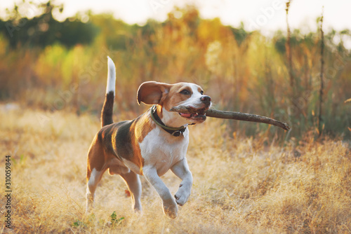 Happy beagle dog with stick in mouth running against beautiful nature background Obraz na płótnie
