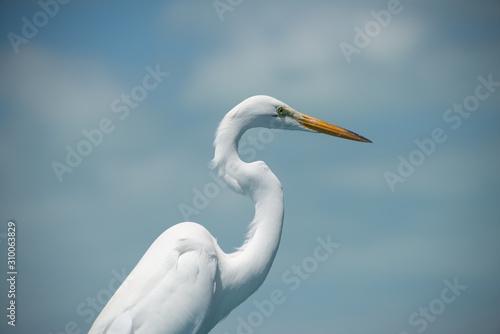 Photo Great Egret