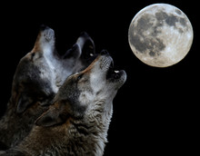 Heulender Wolf Vor Vollmond - Howling Wolf In Front Of Full Moon