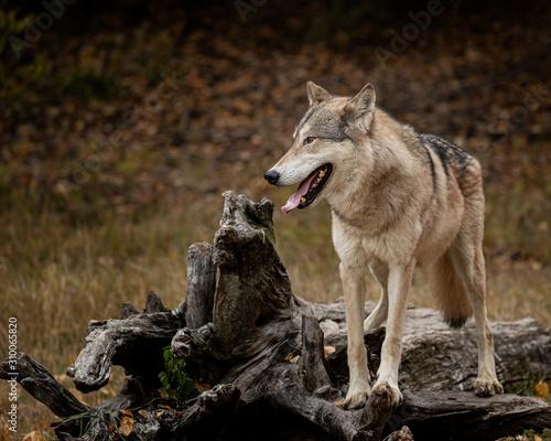 Fototapeta Wolf Pack at Triple D obraz na płótnie