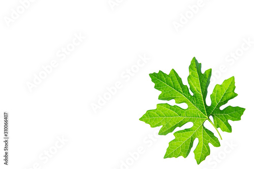 Photo Green leaf of Bitter gourd or Momordica charantia isolated on white background