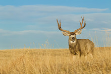 Large Buck Deer With Trophy An...