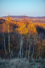 Fototapeta Jesień November birch in the morning