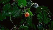 Yellow Hibiscus Flower Blooming In Time-lapse – HD