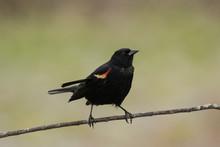 Red-winged Blackbird, Reeds Lake, Grand Rapids, Michigan