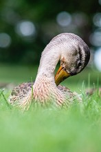 Closeup Shot Of A Duck With A ...