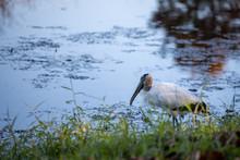 Wood Stork 01