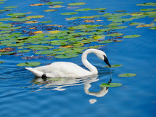 White Swan Swimming In Lake With Lily Pads In Michigan