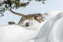 Snow Leopard Jump
