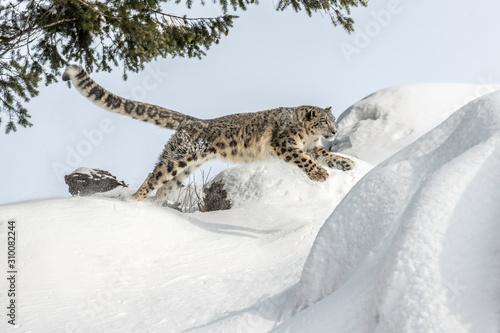 snow leopard jump Fototapet
