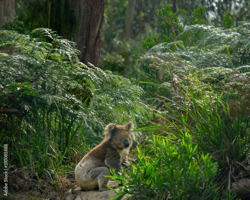 Koala sitting on the ground along the Great Ocean Road Canvas Print