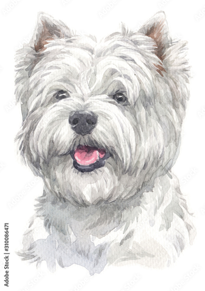 Fototapeta Water colour painting of West Highland White Terrier 013
