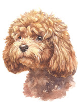 Water Colour Painting Of Poodle 012
