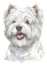 Water Colour Painting Of West Highland White Terrier 013