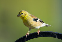 American Goldfinch On A Hanger