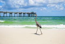 Great Blue Heron (Ardea Herodias) Walking On Seashore