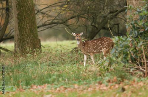 Photo A stunning Axis Deer (Cervus axis) feeding in woodland.