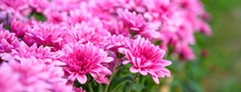 Closeup Beautiful Pink Chrysanthemum Flower Blooming In The Garden On Sunshine.