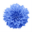 Leinwandbild Motiv Blue Dahlia flower the tuberous garden plant isolated on white background with clipping path, blue Dahlia is a symbol of a new beginning and a new chapter.