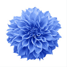 Blue Dahlia Flower The Tuberou...