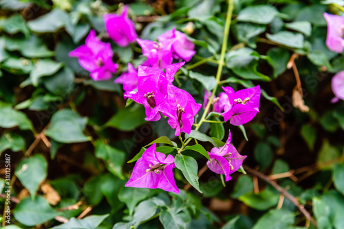 Close up view of Bougainvillea glabra, the lesser bougainvillea or paperflower Canvas Print