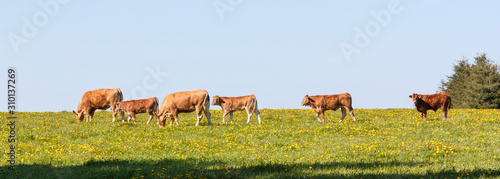 Herd of Limousin beef cattle in a spring pasture with cows, bullocks and a calf Poster Mural XXL