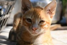 Orange Cat, Looking Front, Sto...