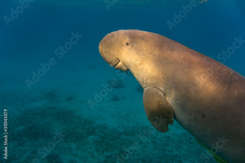 Sea cow or (Dugong) swiming in the sea. Fototapet