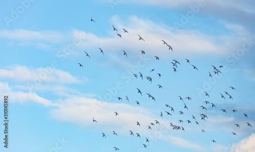 Fototapeta flock of pigeons flying into blue sky  obraz