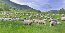 Flock Of Sheep In Greenery Gra...
