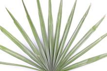 Green Palm Leaves (Livistona R...