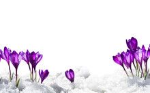 Spring Snowdrops Flowers Violet Crocuses (Crocus Heuffelianus) In Snow On A White Background With Space For Text