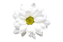 White Chrysanthemum Flower Clo...
