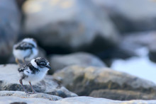 Little Cute Chick / Little Gull In The Wild, Beautiful Chick In The Wild