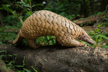 Pangolin On A Tree Trunk