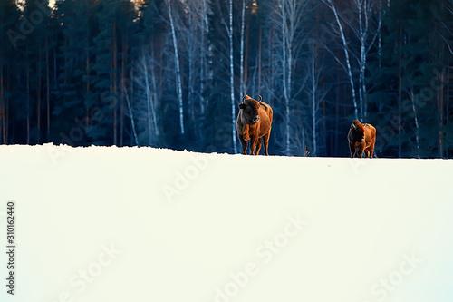 Fototapeta  Aurochs bison in nature / winter season, bison in a snowy field, a large bull bu