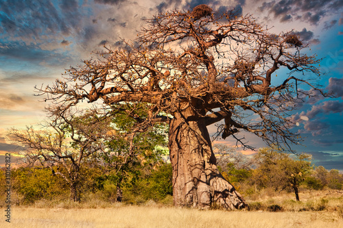 Photo Old baobab tree