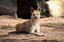 The Dingo Is Australia's Only ...