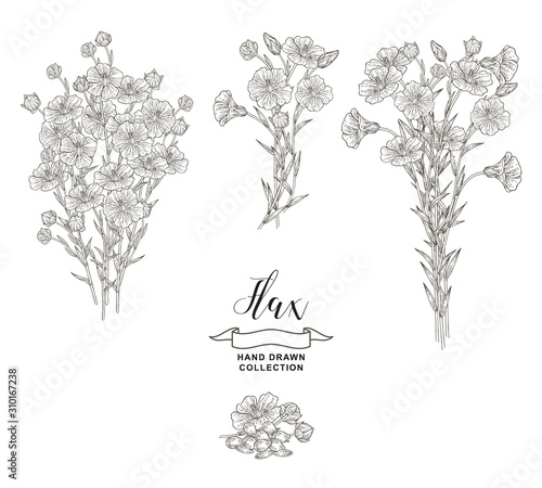 Obraz Flax plant collection. Hand drawn flowers, branches and seeds of flax isolated on white background. Vector illustration botanical. Vintage engraving style. - fototapety do salonu