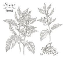 Sesame Plant Collection. Sesam...