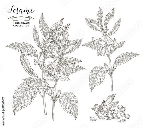 Fototapeta Sesame plant collection. Sesame flowers, leaves and seeds isolated on white background. Vector illustration botanical. Hand drawn engraving style. obraz