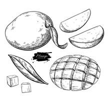 Mango Vector Drawing. Hand Drawn Tropical Fruit Illustration. Engraved Summer Fruit.