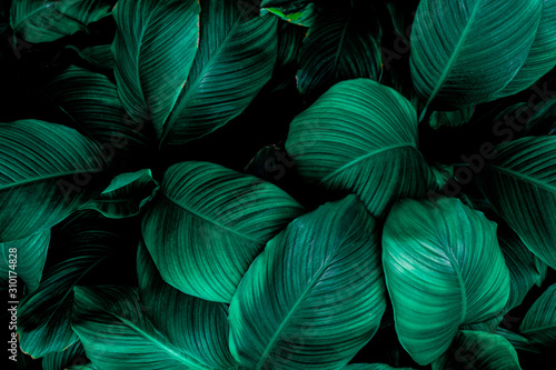 Fototapeta leaves of Spathiphyllum cannifolium, abstract green texture, nature background, tropical leaf obraz na płótnie