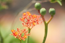 Closeup Shot Of A Beautiful Orange Milkweed Flower With A Blurred Background