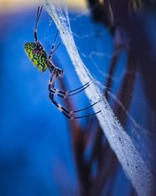 Vertical Closeup Shot Of A Golden Silk Orb-weaving Spider With Early Morning Dew, In South Korea