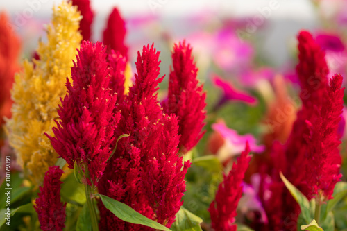 Cockscomb, Chinese wool flower Fototapet