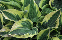 Hosta 'Wide Brim' Also Known As Plantain Lily Is A Spring And Summer Flowering Perennial Herbaceous Flower Plant
