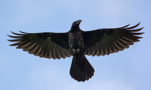 Young Common Raven Hovers High In Blue Sky With Stretched Wings And Tail