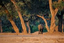 Male Elephant In The Dry Seaso...