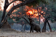 Le Elephant At Sunset In The D...